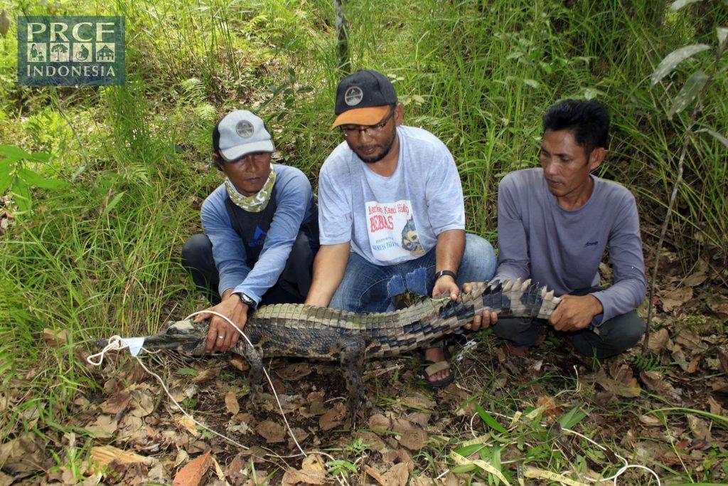 Pengukuran Buaya Senyulong dari Desa Pega di Danau Kedabang