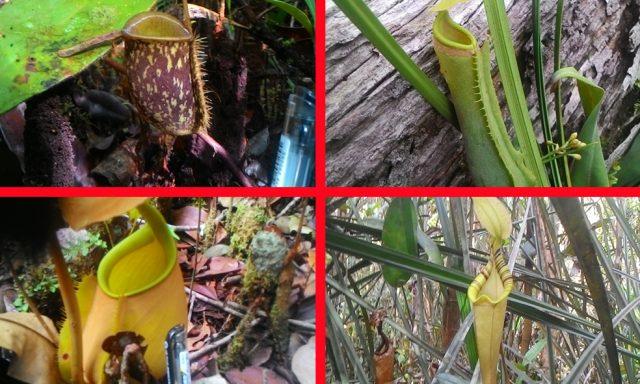 kantong semar yang ditemukan di hutan desa Nanga Lauk
