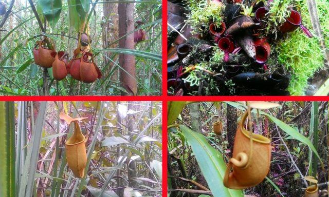 kantong semar di hutan nanga lauk
