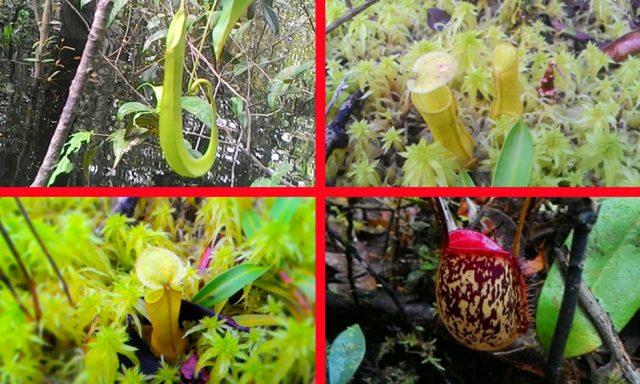 Kantong semar atau genius nepenthes banyak ditemukan di hutan desa Nanga Lauk