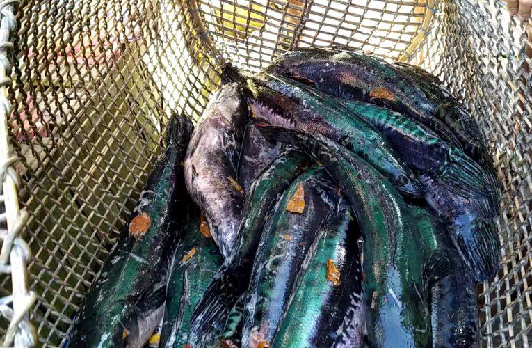 Jenis Ikan di Perairan Nanga Lauk