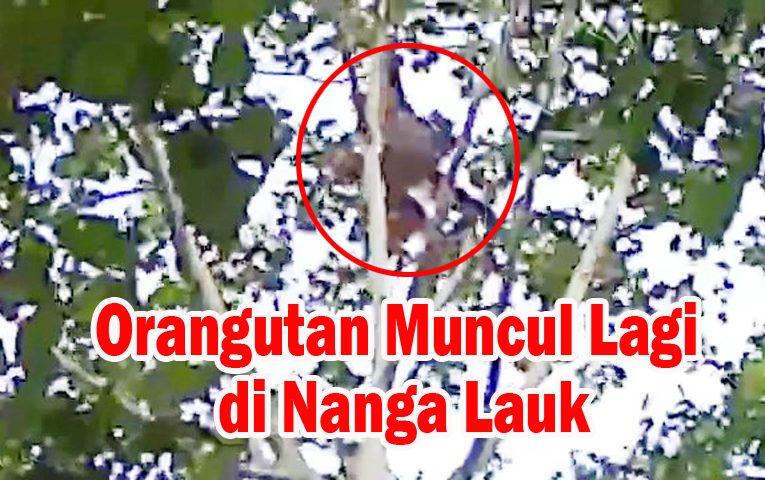Orangutan Muncul Lagi di Hutan Desa Nanga Lauk