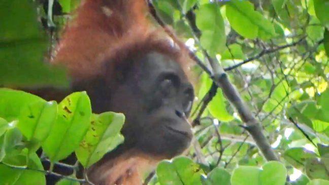 Sejarah hari lingkungan hidup salah satunya melindungi hewan langka seperti orangutan ini