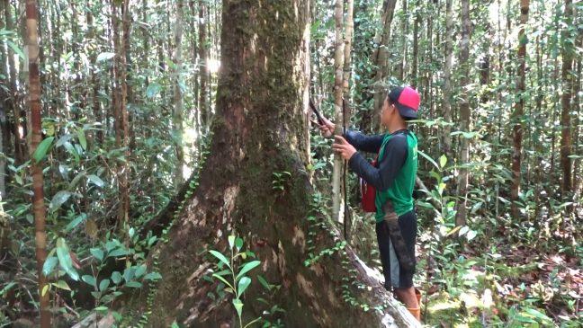 Pohon besar masih ditemukan di hutan desa Nanga Lauk