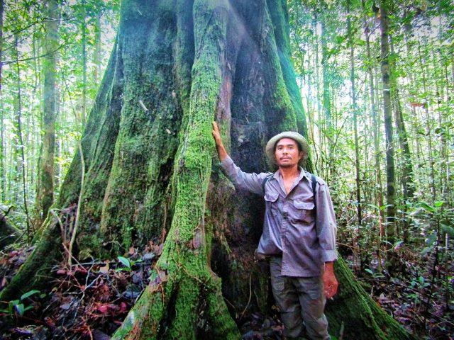 Patroli hutan menemukan pohon raksasa