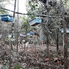 Pengelolaan Madu Hutan Tesso Nelo Secara Lestari (2)