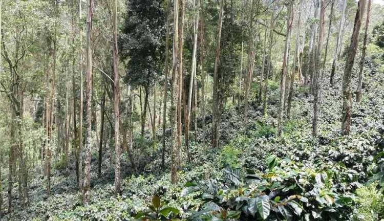 Agroforestri Berbasis Kopi