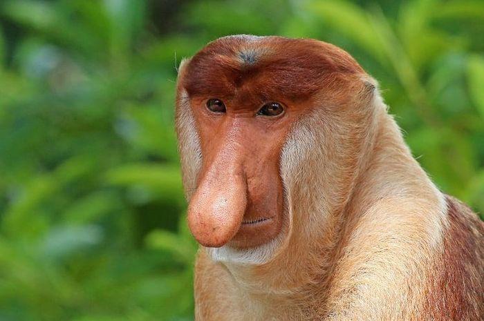 Bekantan Monyet Unik dari Pulau Kalimantan