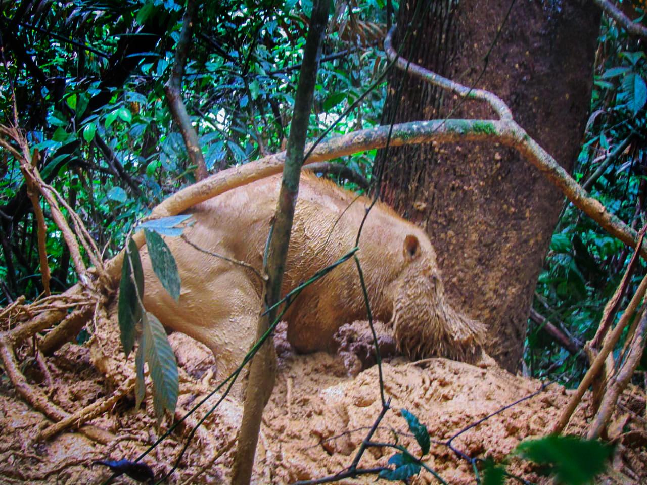 Satwa babi hutan
