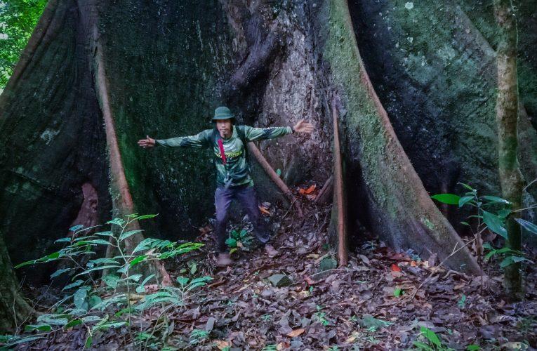 Pohon Raksasa Ditemukan di Hutan Hulu Tuung Desa Tanjung
