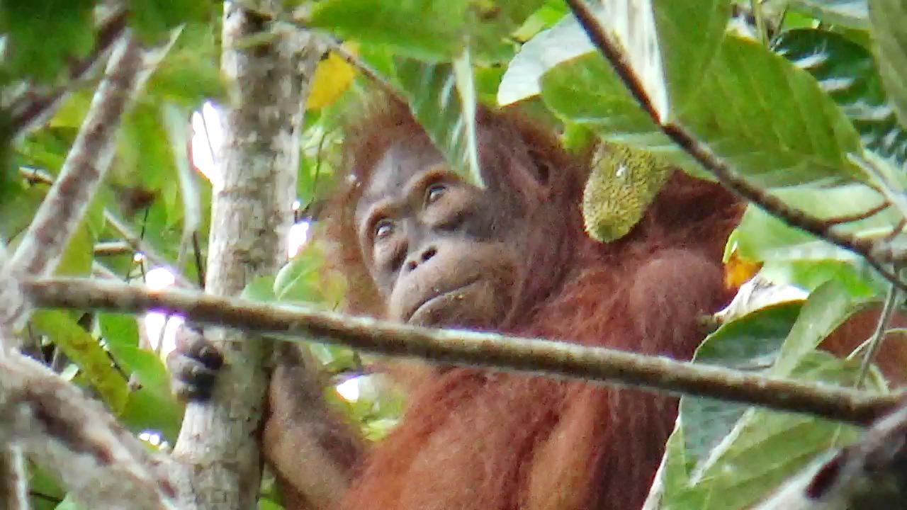 Mengejutkan Orangutan Tiba Tiba Muncul Di Hutan Desa Nanga