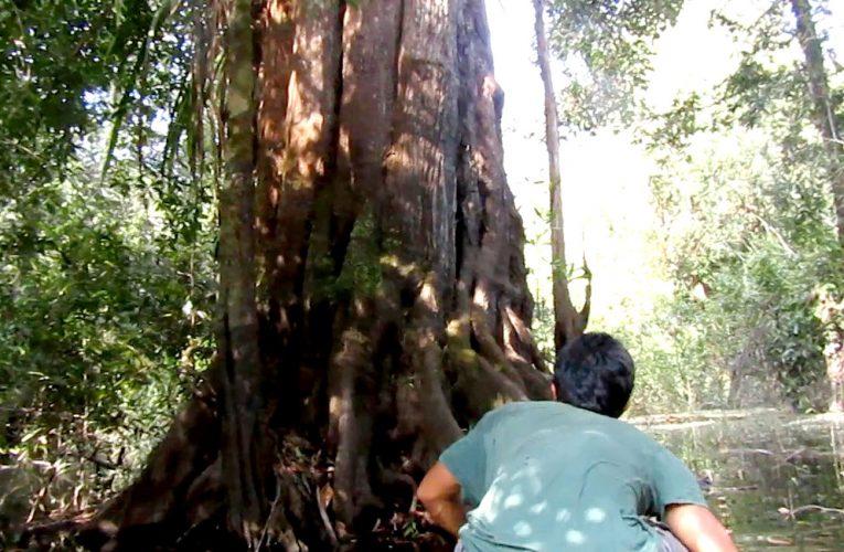 Saat Patroli Hutan Desa Ketemu dengan Pohon Raksasa