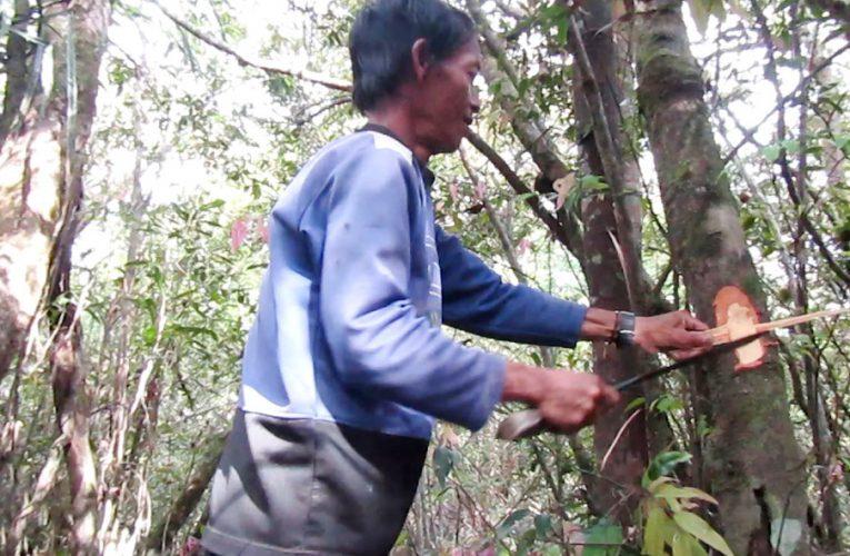 Belajar Kearifan Lokal dari Desa Nanga Lauk Soal Lebah Madu