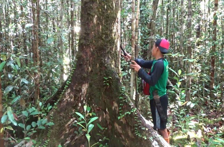 Nanga Lauk Masuk Laporan Utama Forest Digest